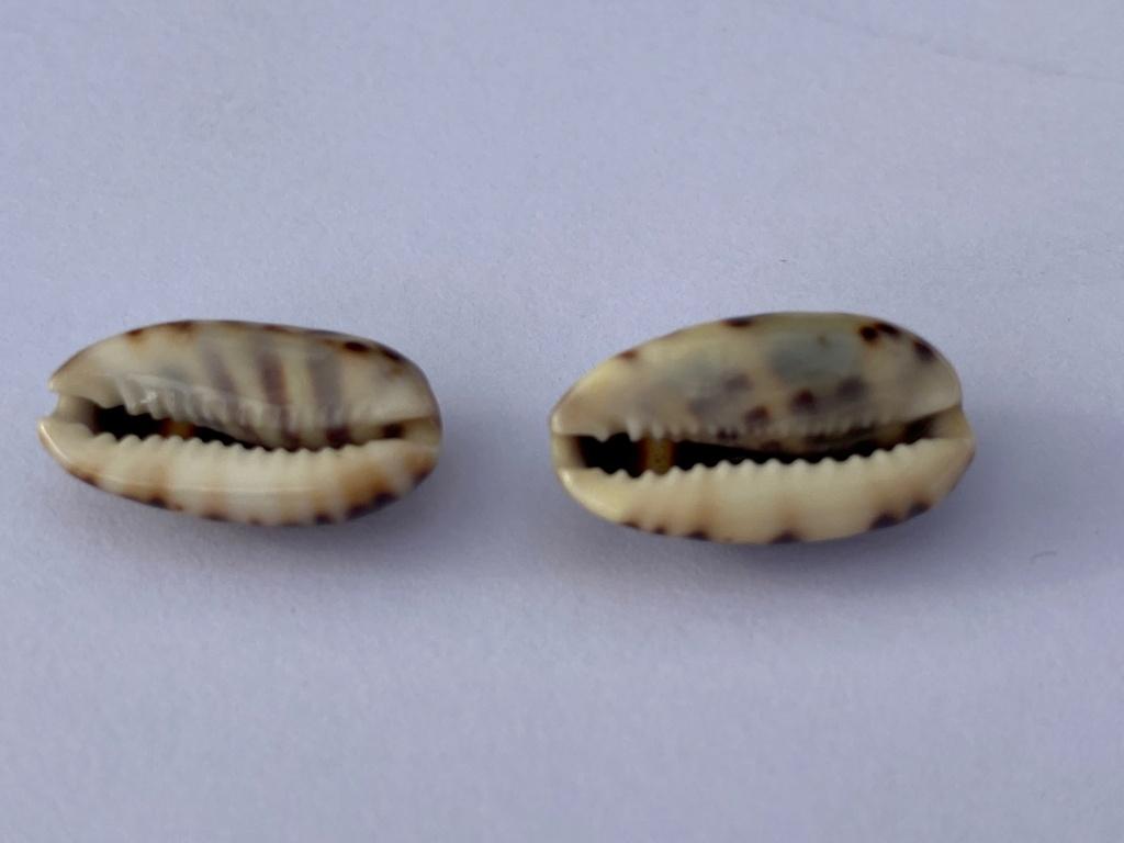 Melicerona felina (Gmelin, 1791) et Melicerona listeri (Gray, 1824) 33e73f10
