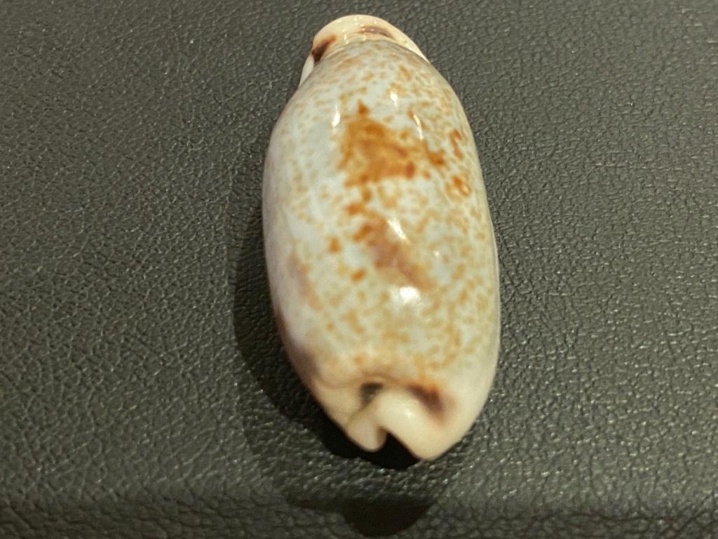 Erronea cylindrica lenella - Iredale, 1939 3e041410