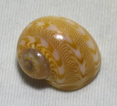 Tanea undulata - (Röding, 1798) A59ce610