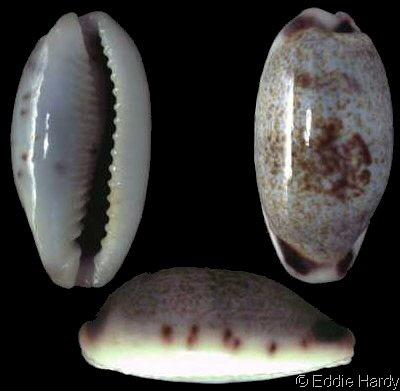 Erronea cylindrica lenella - Iredale, 1939 Cd791510