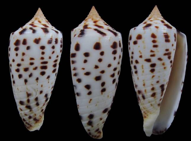 Conus (Phasmoconus) zapatosensis   Röckel, 1987 Eb7f5d10