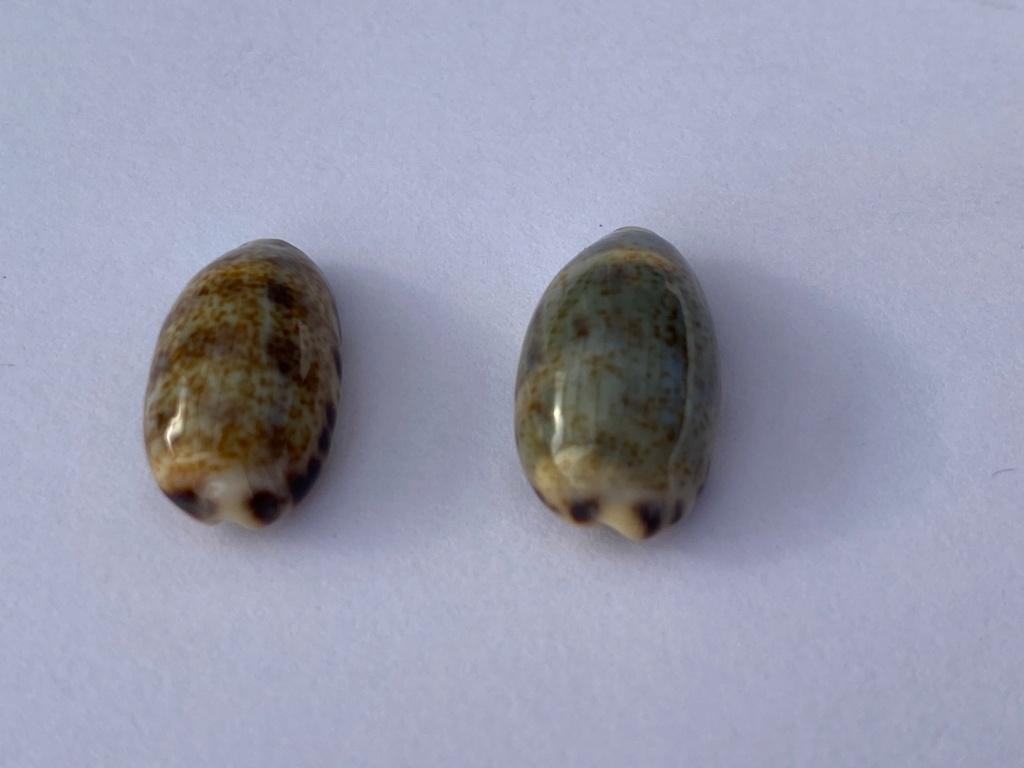 Melicerona felina (Gmelin, 1791) et Melicerona listeri (Gray, 1824) Eea21910