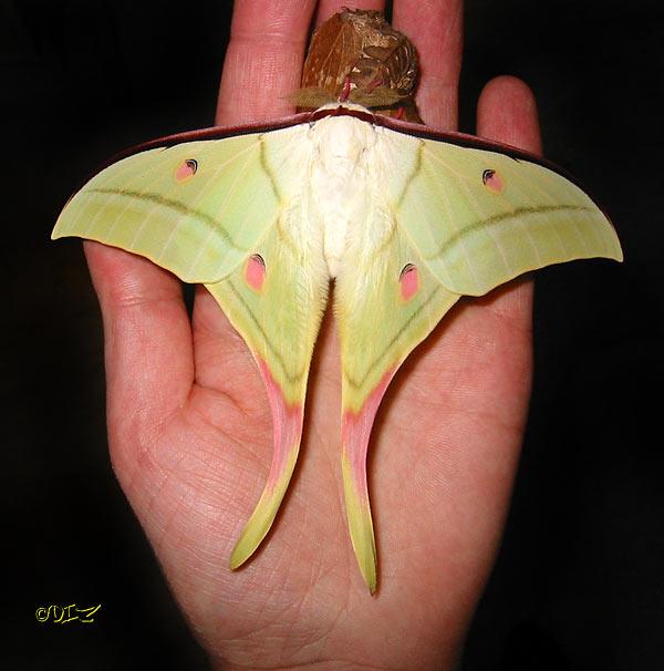 un papillon pour Sjoelie Actias10