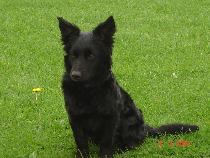 Dandy x ratier/ basset/epagneul noir 3 ans mâle Dsc03219