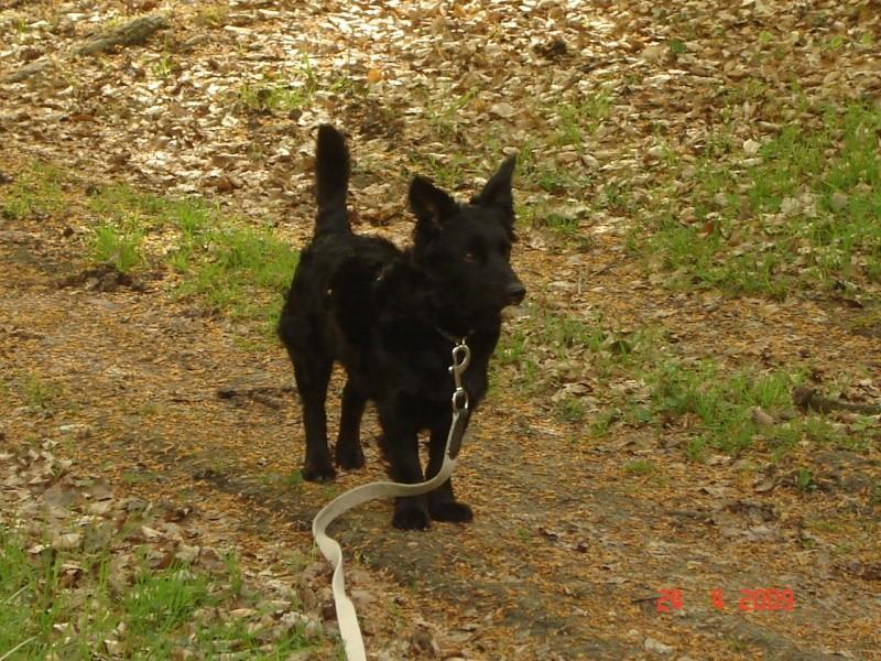 Dandy x ratier/ basset/epagneul noir 3 ans mâle Dsc03310