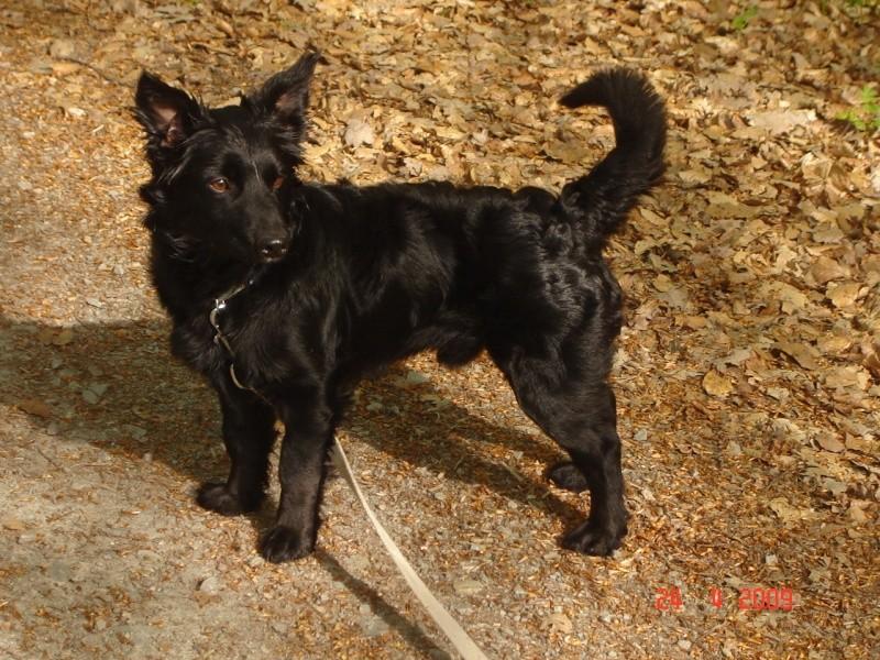 Dandy x ratier/ basset/epagneul noir 3 ans mâle Dsc03311