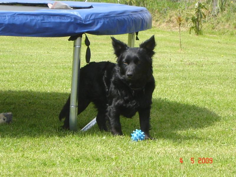 Dandy x ratier/ basset/epagneul noir 3 ans mâle Dsc03414