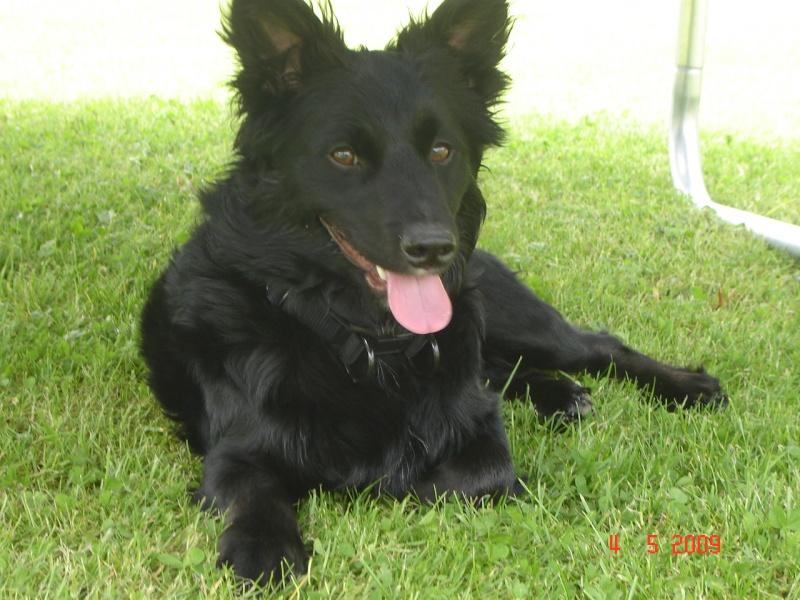 Dandy x ratier/ basset/epagneul noir 3 ans mâle Dsc03417
