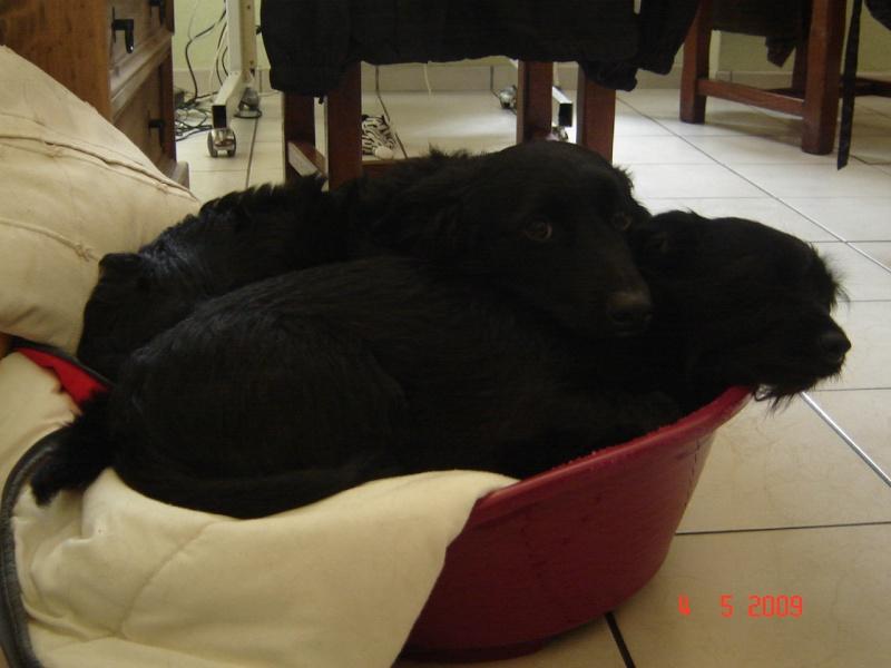 Dandy x ratier/ basset/epagneul noir 3 ans mâle Dsc03511