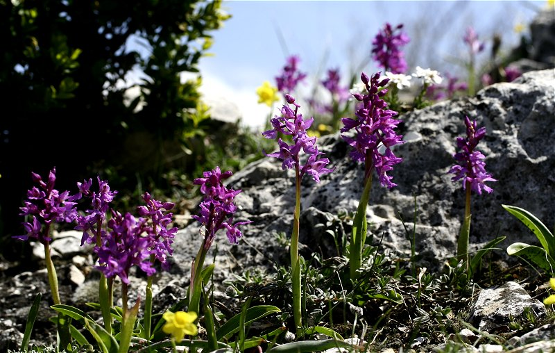 Orchis olbiensis ( Orchis d'Hyères ) Orchis10
