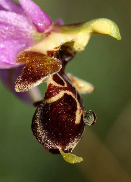 Ophrys scolopax ( Ophrys bécasse ) Scolog10