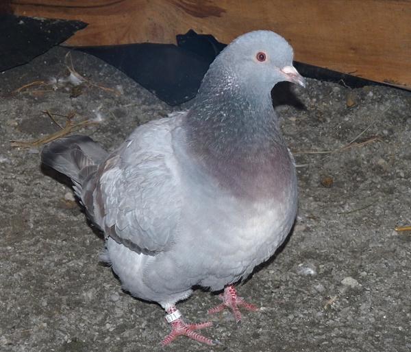 quelques un de mes pigeons ! P1040611