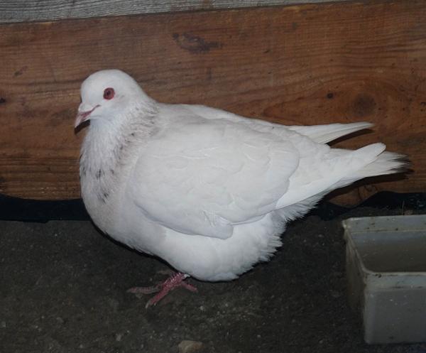 quelques un de mes pigeons ! P1040613