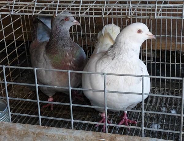 quelques un de mes pigeons ! P1040614