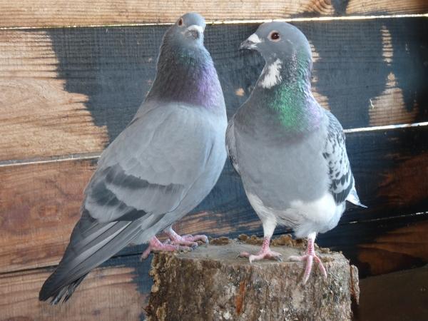 quelques un de mes pigeons ! P1040615