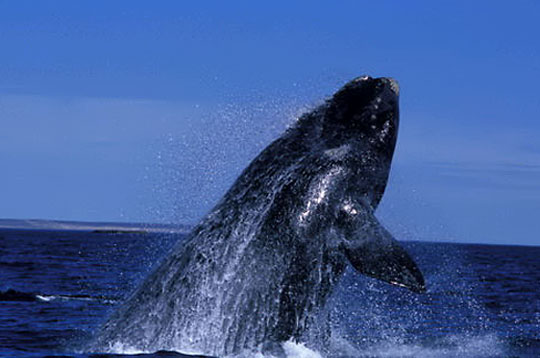 Le collier du Chamane Inuit Balein10