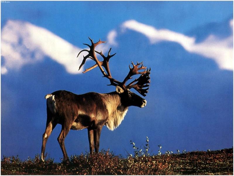 Le collier du Chamane Inuit Caribo10