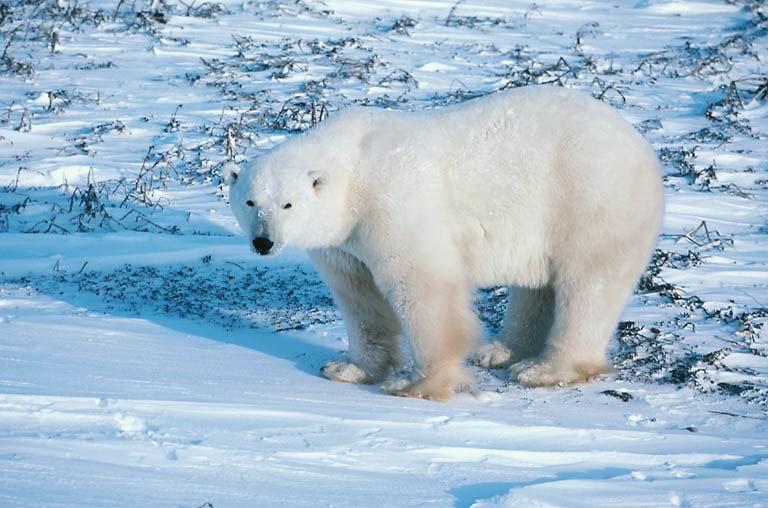 Le collier du Chamane Inuit Ours_b10