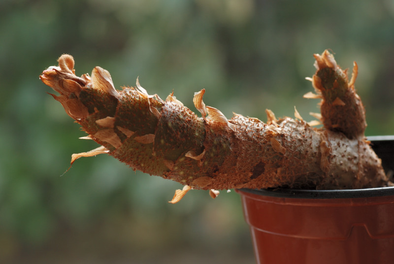 Begonias crassicaulis* Bego1613