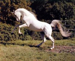 Mitos del caballo blanco Caball12