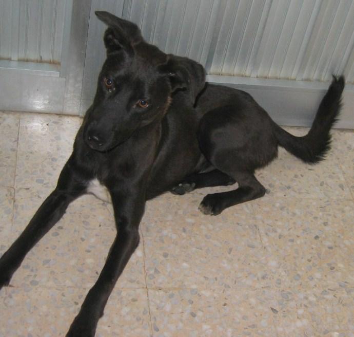 SCOTCH, né fin 2009, chien de la SPA TUNISIE à sauver ! Scotch12