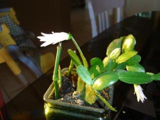 Mes cactus s'éveillent . Dsc07935