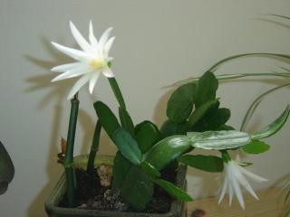 Cactus de Noël ou Schlumbergera Dsc07937