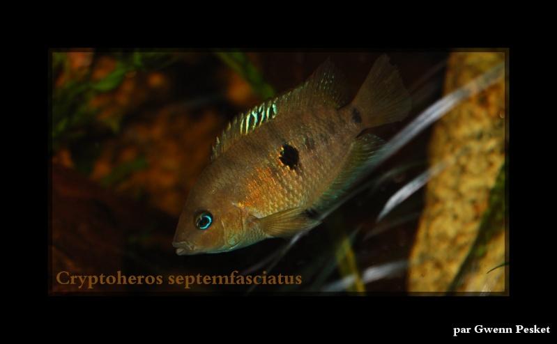 Cryptoheros Septemfasciatus Dsc_0011