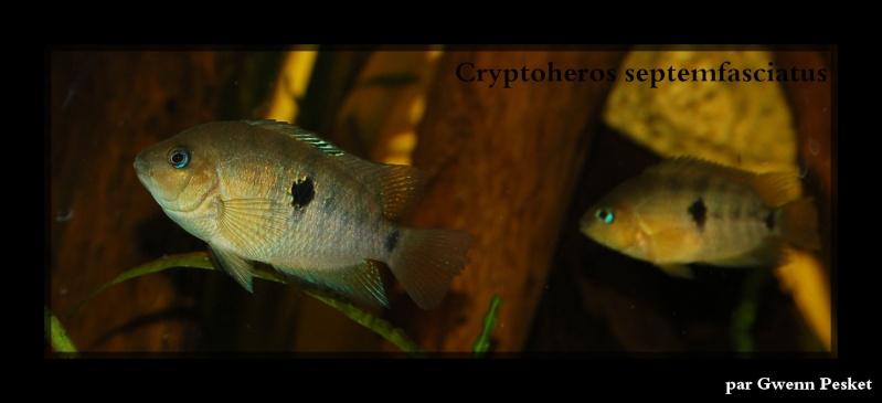 Cryptoheros Septemfasciatus Dsc_0012