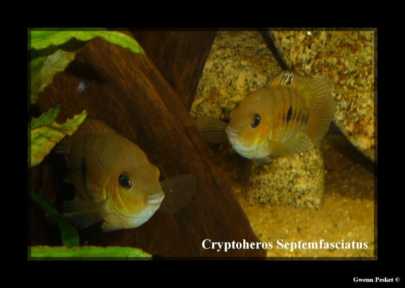 Cryptoheros Septemfasciatus P1040810