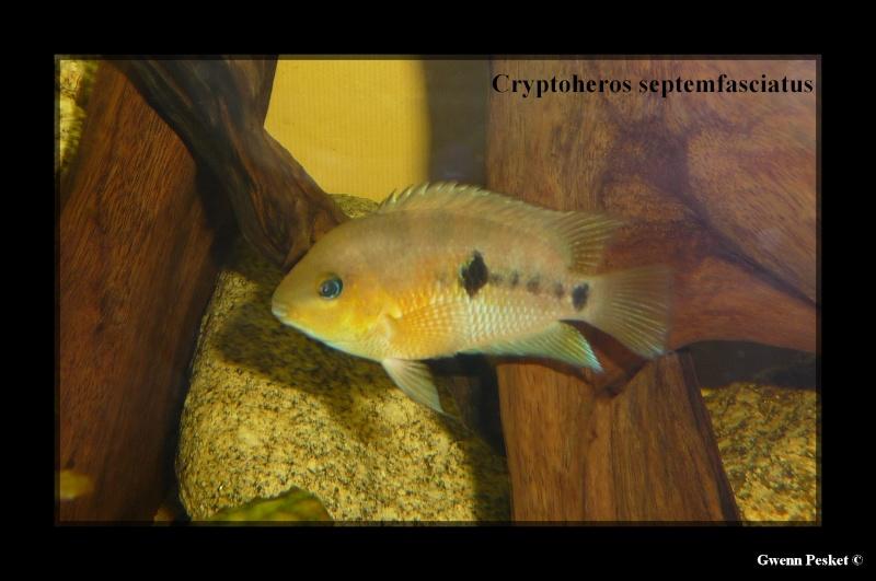 Cryptoheros Septemfasciatus P1040811