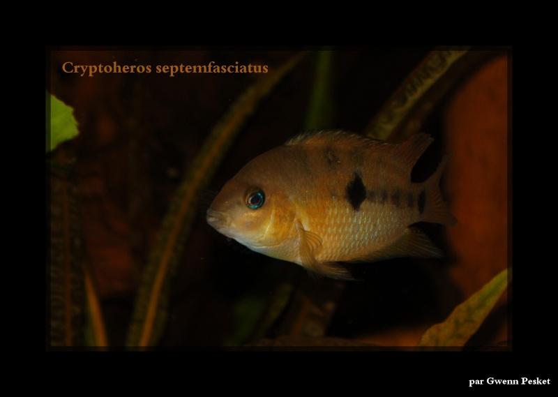 Cryptoheros Septemfasciatus Top_310
