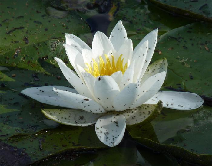 L'étang de chez moi Nenuph10