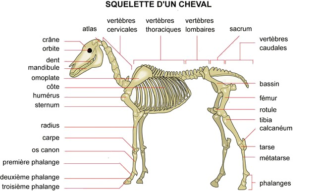 ~ Le squelette ~ 072_sq12