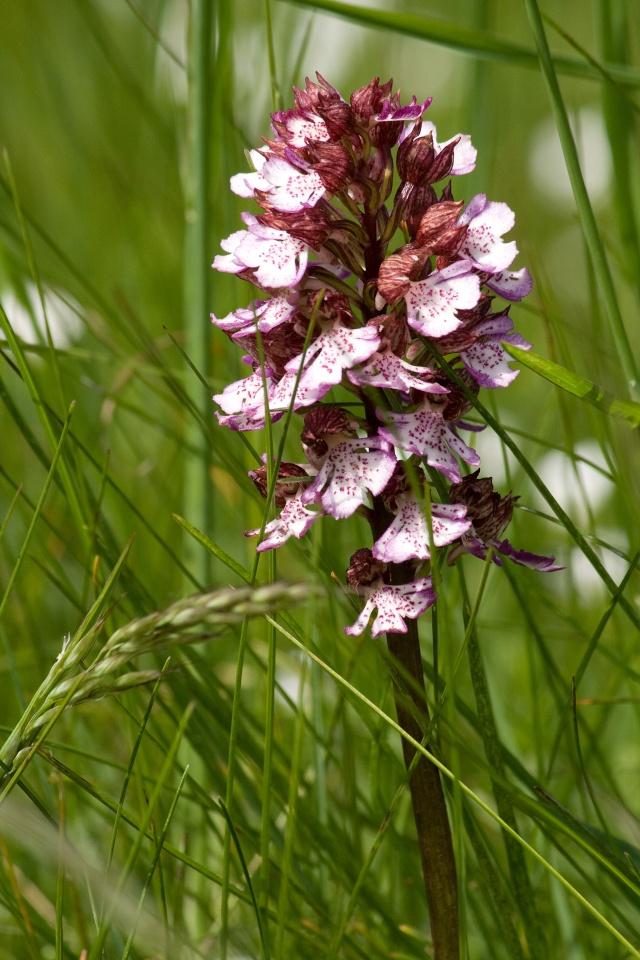 Fleurs du Vercors. Img_7310