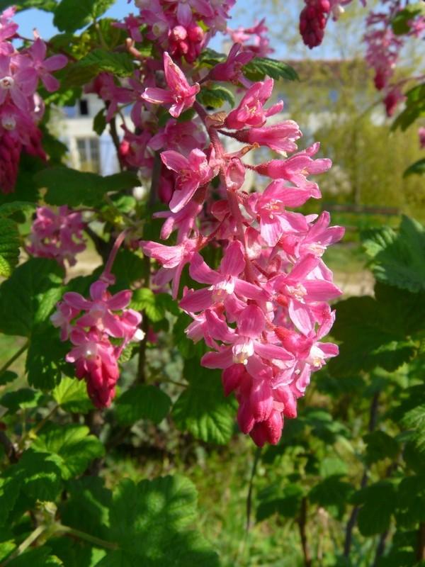 Groseiller a fleurs (Ribes sanguineum) - Page 2 Ribes010