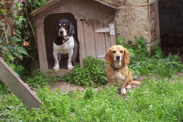 TAMBELLE & TOSCA, croisées beagle femelles, 14 ans (16) Divers18