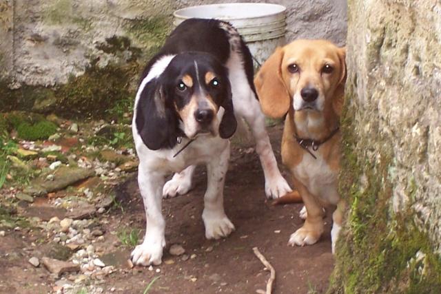 TAMBELLE & TOSCA, croisées beagle femelles, 14 ans (16) Divers20