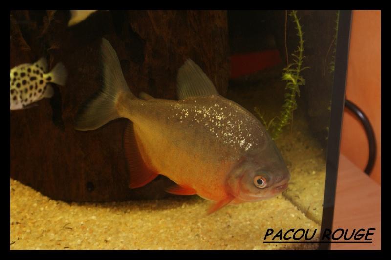 Les animaux vivant dans l'eau Pacou_10