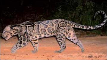 Macan Tutul spesies baru (Tertangkap kamera) Lyvgy810