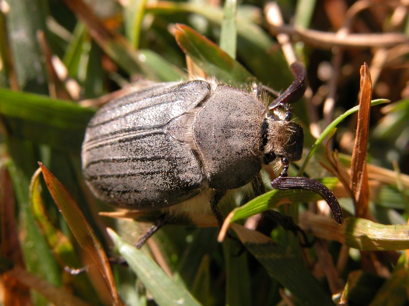 [Melolontha papposa], Portugal Brunhe10