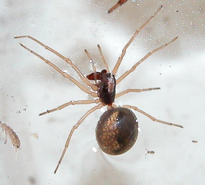 Minuscule araignée de Corse Copie129