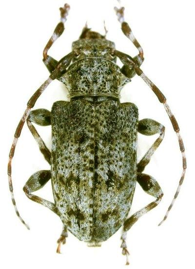 [Aegomorphus clavipes]Acanthoderes clavipes Copie_40