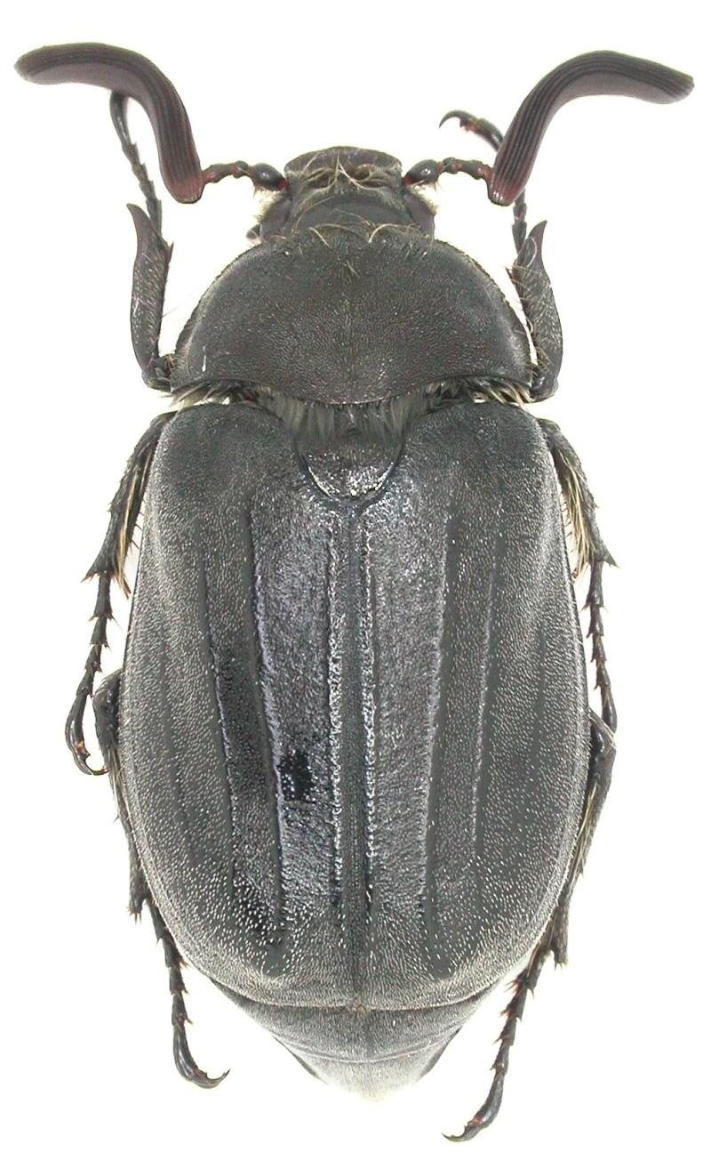 [Melolontha papposa], Portugal Dscn0724