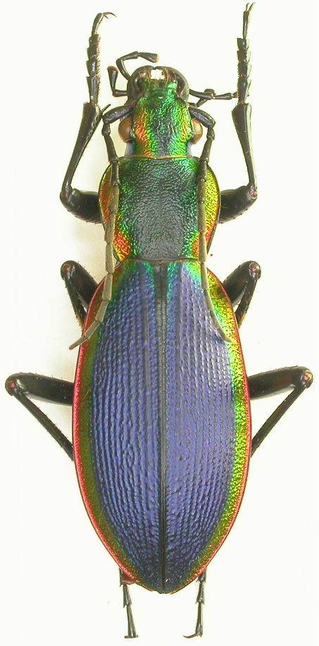 [Ceroglossus chilensis latemarginatus], Chili Dscn1711
