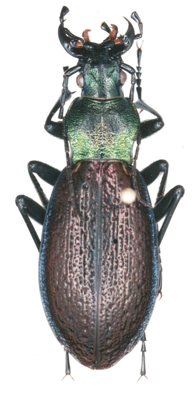 [C.(Chrysocarabus) hispanus] f.i. castaneus Img00610