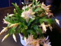 cactus de noel  Dscn6120