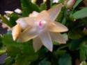 cactus de noel  Dscn6121
