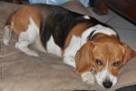 BOOPS, beagle femelle, 4 ans (92) 44615-10