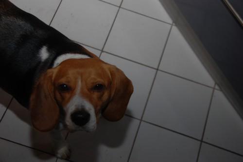 BOOPS, beagle femelle, 4 ans (92) Dsc_0110